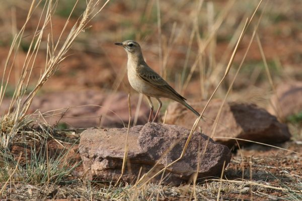 Plain Backed Pipit