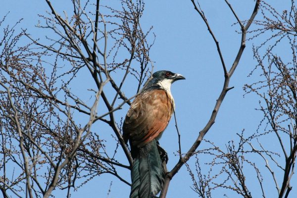 Burchells Coucal