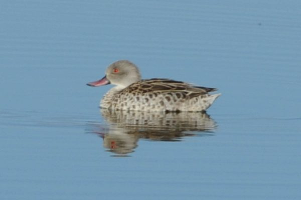 Cape Teal