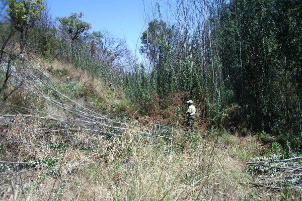 Poplar Canensis - Henri's Valley